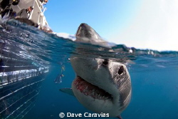 A Great White Shark has a 'sniff' at my camera whilst swi... by Dave Caravias 